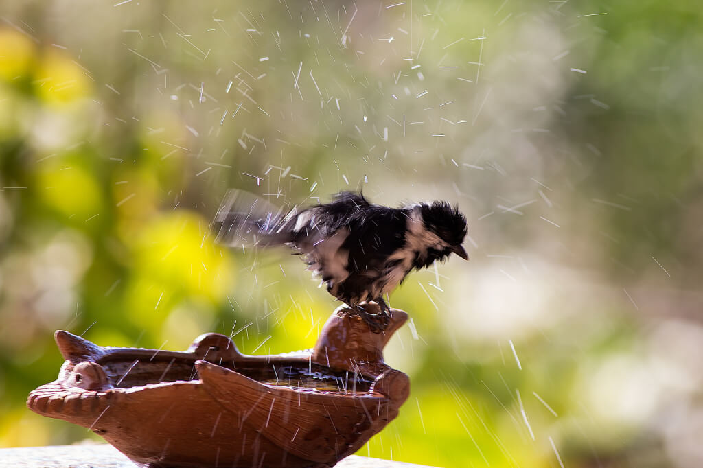 White naped tit after shower